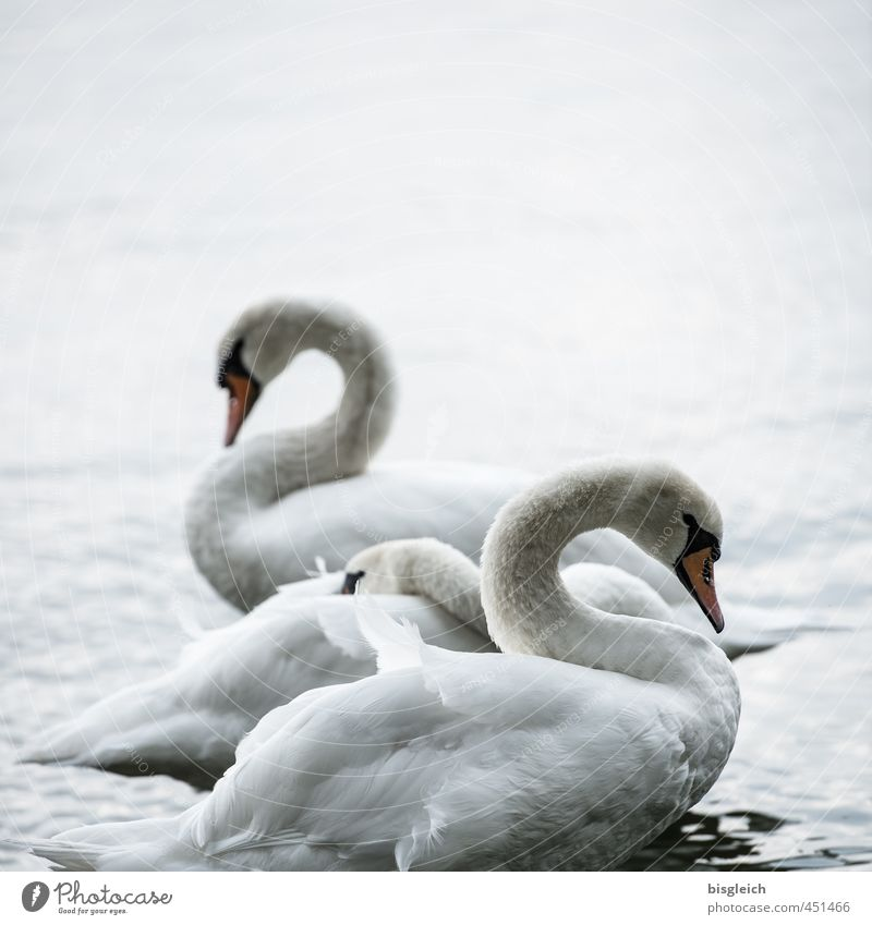 Swan Lake I Nature Lakeside Bird 3 Animal Stand Beautiful Gray White Colour photo Subdued colour Exterior shot Deserted Copy Space top Evening Twilight