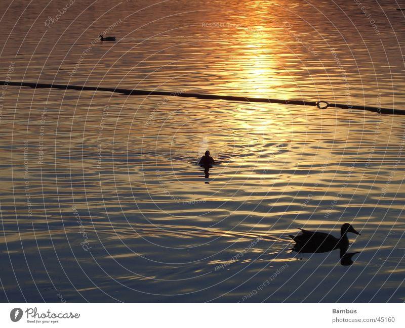 ducks Lake Sunset Dusk Reflection Water Detail