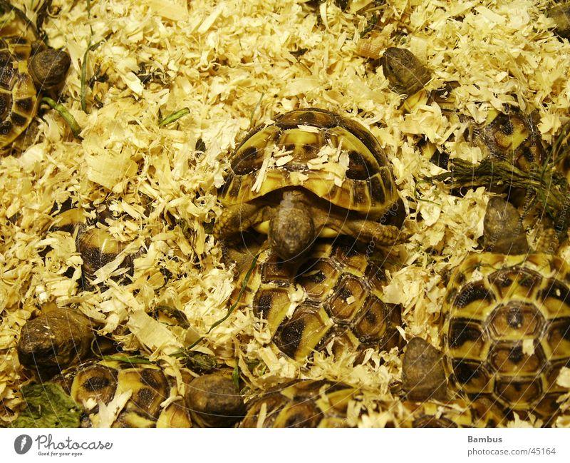 turtles Heap Sawdust Brown Yellow small turtles Detail
