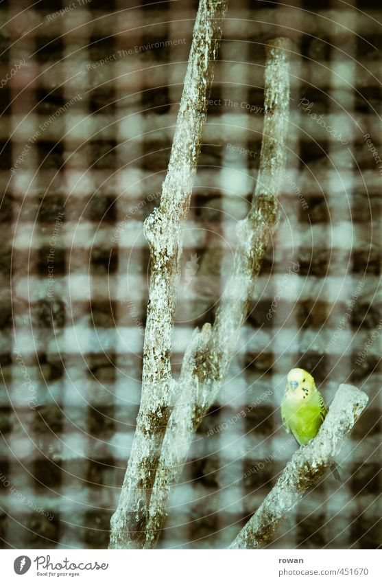 budgie Pet Bird Zoo 1 Animal Green Grating Cage Captured Sit Branch Flying Grid Individual Loneliness Budgerigar Parallel Penitentiary Colour photo