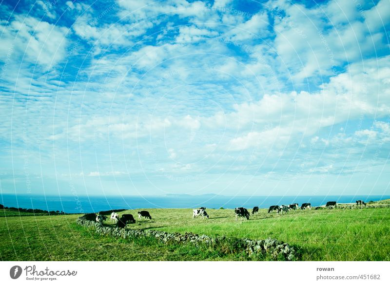 landscape Environment Nature Landscape Plant Animal Sky Clouds Weather Beautiful weather Meadow Field Cow Herd Fresh Natural Juicy Clean Grass