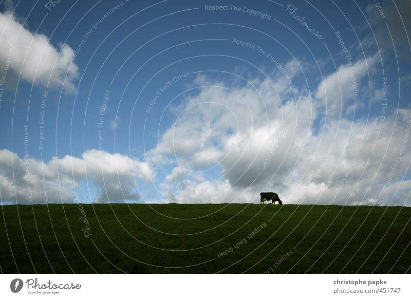 Cow in the field Agriculture Forestry Sky Clouds Meadow Field Animal Farm animal 1 To feed Stand Dairy cow Cattle Beef Cattle farming Pasture Rural Colour photo