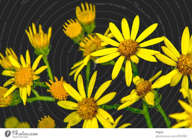 Beautiful Plant Flower Black Yellow Blossom Background picture Decoration Many