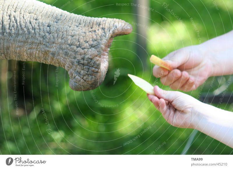 """Giants"" - ham Elephant Trunk Hand Zoo Green Hagenbeck zoo Nutrition Apple"