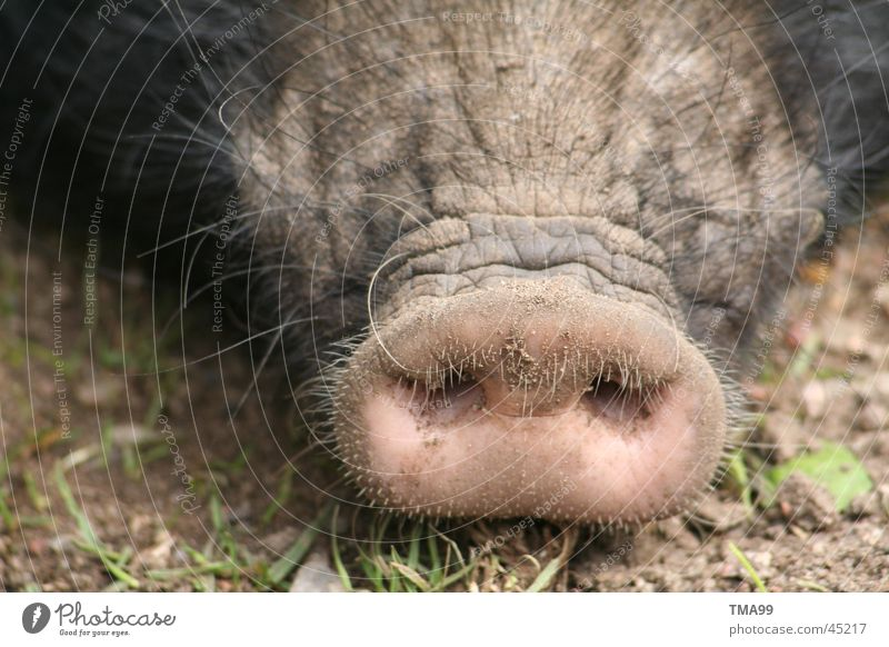 Nose Transport Swine Pigs Connector Sow Piglet Grunt