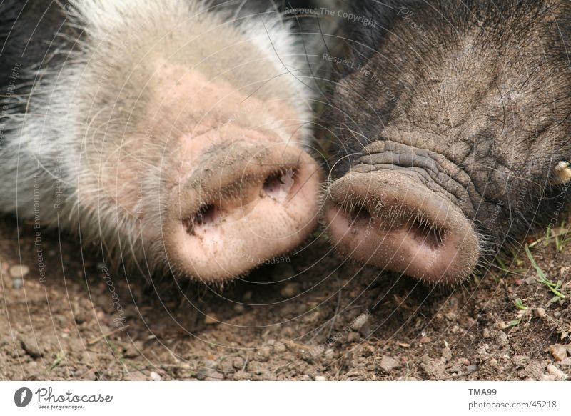 double plug Swine Sow Grunt Pig's snout Transport Nose Double socket