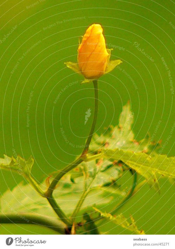 ranunculus Flower Close-up Blossom Bushes Buttercup Green