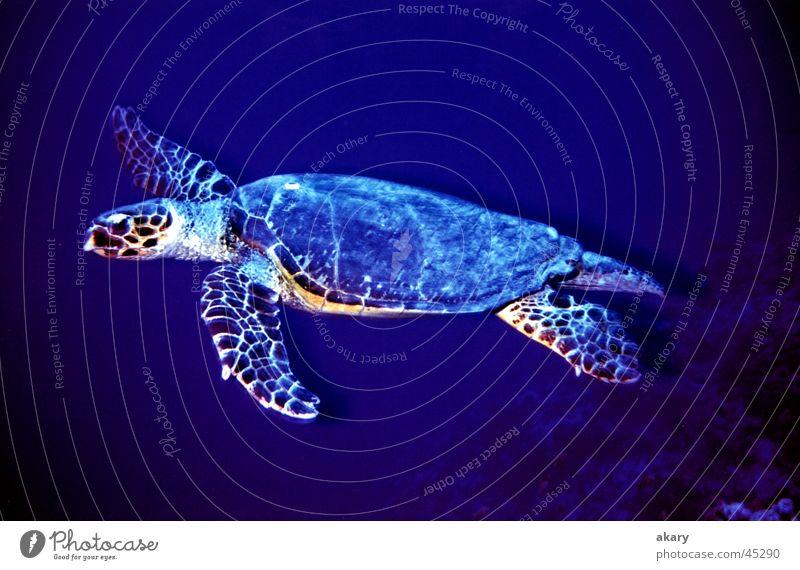 Blue Dive Turtle Underwater photo Red Sea