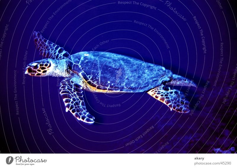 turtle Turtle Dive Underwater photo Red Sea Blue