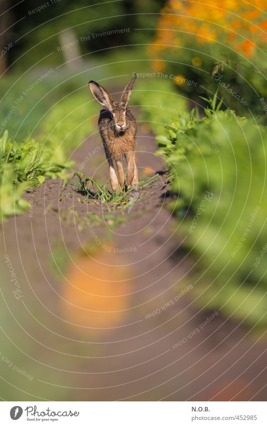 Come to me Hasi Summer Beautiful weather Agricultural crop Field Animal Wild animal Hare & Rabbit & Bunny 1 Blossoming Walking Authentic Green Orange Curiosity