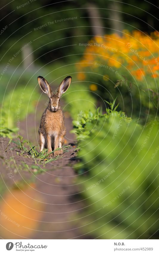 Unlock the spoons! Environment Animal Summer Beautiful weather Agricultural crop Field Wild animal Hare & Rabbit & Bunny 1 Observe Green Orange Watchfulness