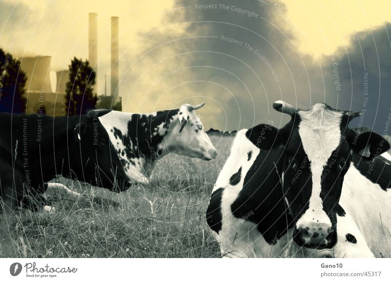 organic milk Cow Air pollution Environment Environmental pollution Electricity generating station Landscape Dirty Smoke Energy industry