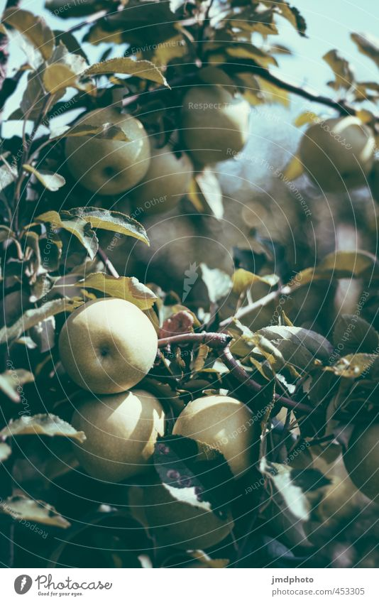 Apple Harvest Food Fruit Nutrition Diet Healthy Environment Nature Plant Summer Beautiful weather Tree Agricultural crop Apple tree Apple blossom Apple juice