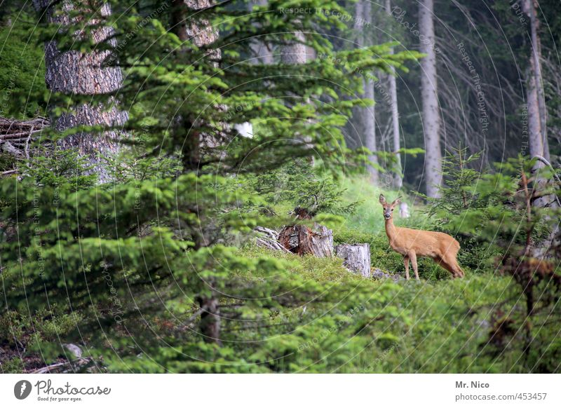 Nature Plant Tree Landscape Animal Forest Environment Idyll Wild animal Bushes Observe Hill Watchfulness Hunting Roe deer Deer crossing