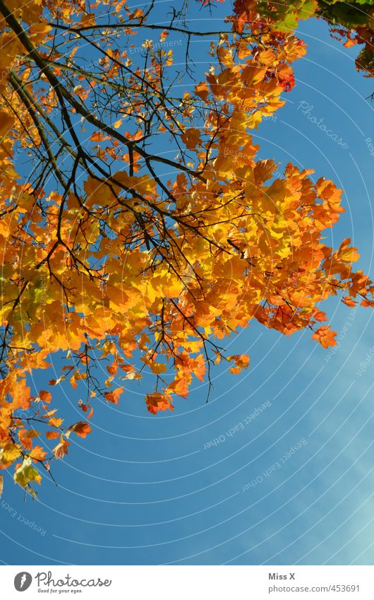 Nature Colour Tree Leaf Yellow Autumn Orange Gold Beautiful weather Branch Cloudless sky Autumn leaves Positive Autumnal Autumnal colours Early fall