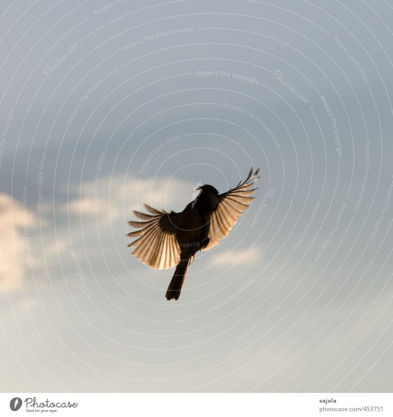 Animal Flight into the Light Nature Sky Clouds Wild animal Bird Tit mouse 1 Esthetic Blue Flying Feather Wing Landing Feeding Colour photo Exterior shot