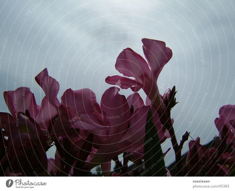 Sky Flower Leaf Blossom Sadness Pink Wind Transience Blossom leave Oleander