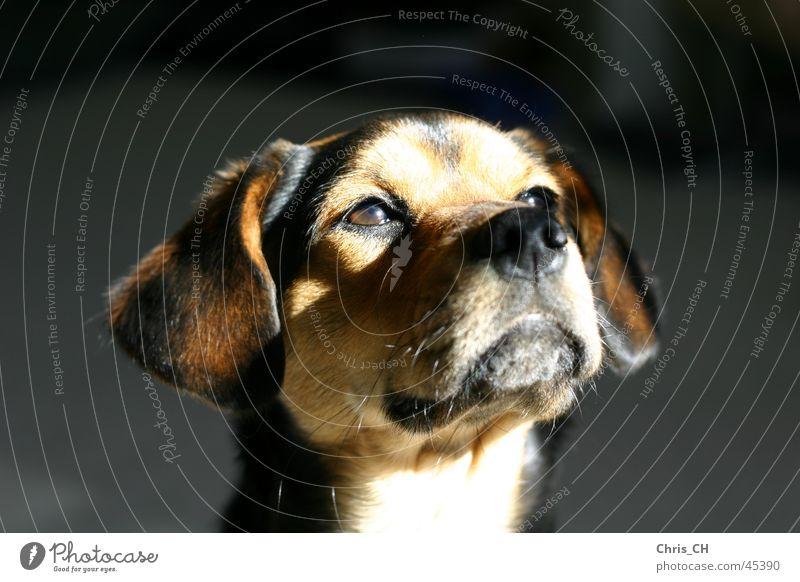 Animal Dog Sweet Pet Puppy