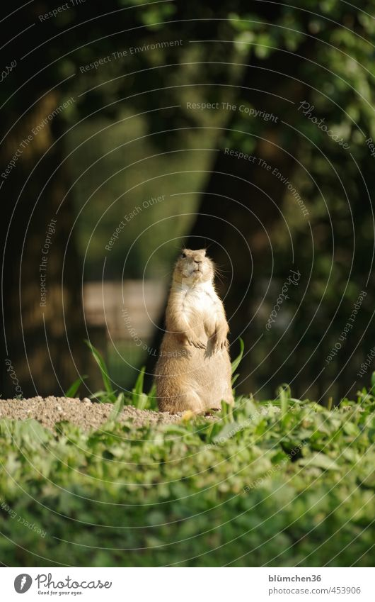 Everything at a glance Animal Wild animal Animal face Pelt Paw Prairie dog Mammal Rodent Observe Listening Looking Stand Friendliness Small Natural Curiosity