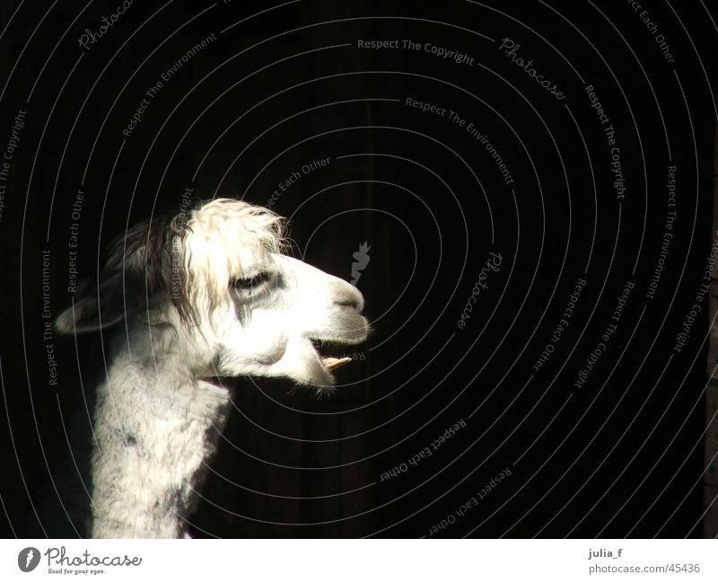 White Animal Hair and hairstyles Set of teeth Zoo Snout Berlin zoo Llama