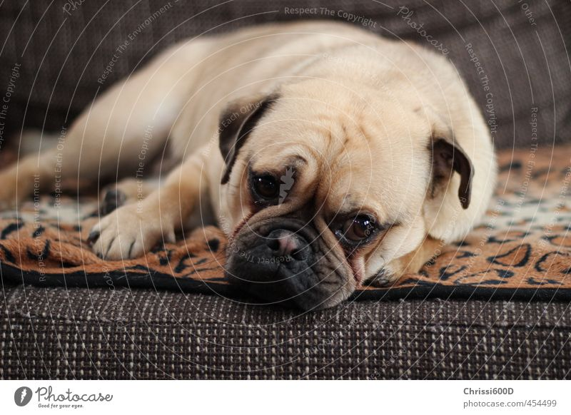 Dog Relaxation Animal Dream Contentment Cute To enjoy Break Serene Pet Safety (feeling of) Cuddly Love of animals Pug