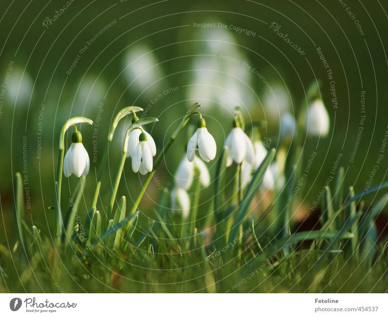 Plants | Bellingeling Environment Nature Spring Beautiful weather Flower Blossom Garden Bright Near Natural Green White Snowdrop Spring flowering plant