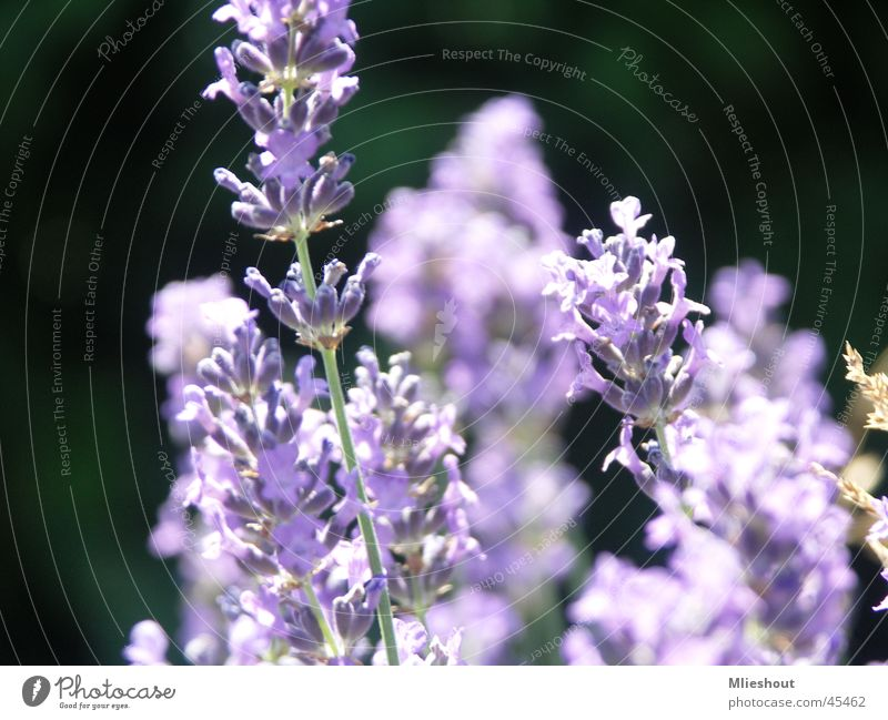 Lavender in France laverder purple flower macroshoot