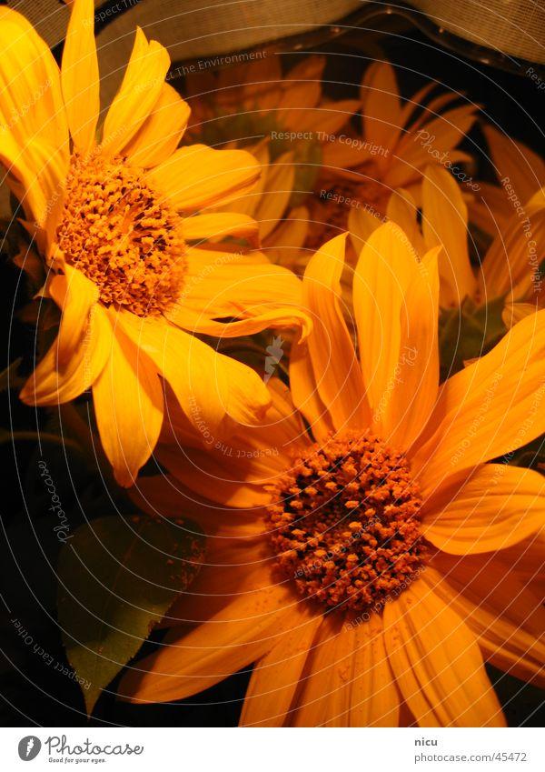 sunny Sunflower Summer Yellow Nature