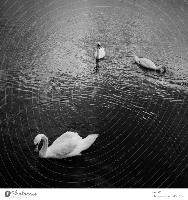 family constellations Environment Nature Animal Water Climate Weather Beautiful weather Lake Wild animal Swan 3 Observe Movement Relaxation To enjoy To swing