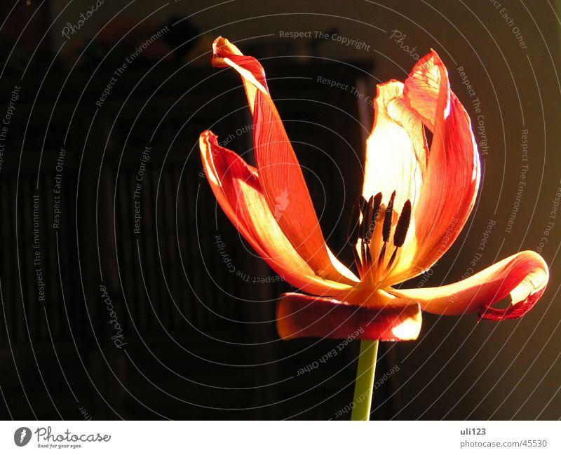 Sun Flower Plant Dark Blossom Tulip