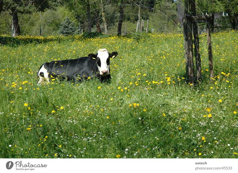 cow in the grass Cow Meadow Grass Switzerland Bull Cattle Transport Nature Landscape Muni