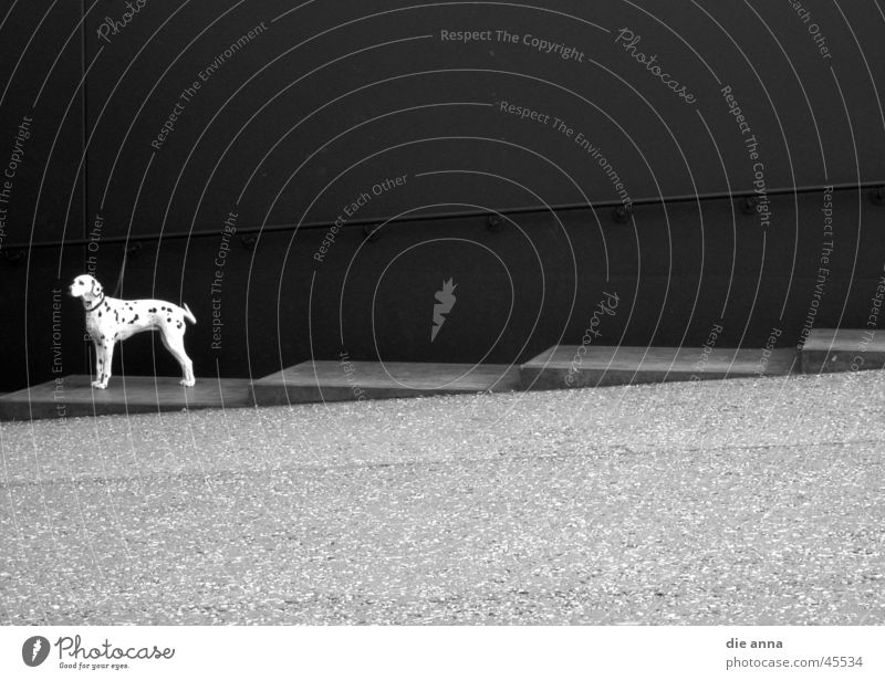 superdog Dog Dalmatian Deserted Photographic technology Stairs Black & white photo clean Wait Loneliness