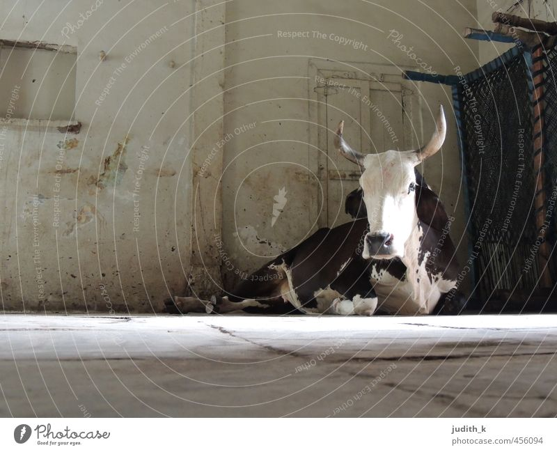 ...the holy cow... India Ahmedabad Living room Pet Cow Pelt 1 Animal Observe Lie Wait Subdued colour Interior shot Morning Long shot Animal portrait