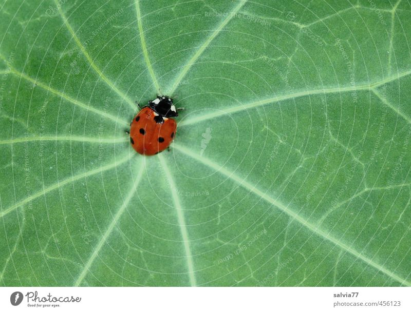 center Nature Plant Spring Summer Leaf Foliage plant Wild plant Animal Wild animal Beetle 1 Crawl Green Red Center point Lanes & trails Ladybird Rachis Contrast