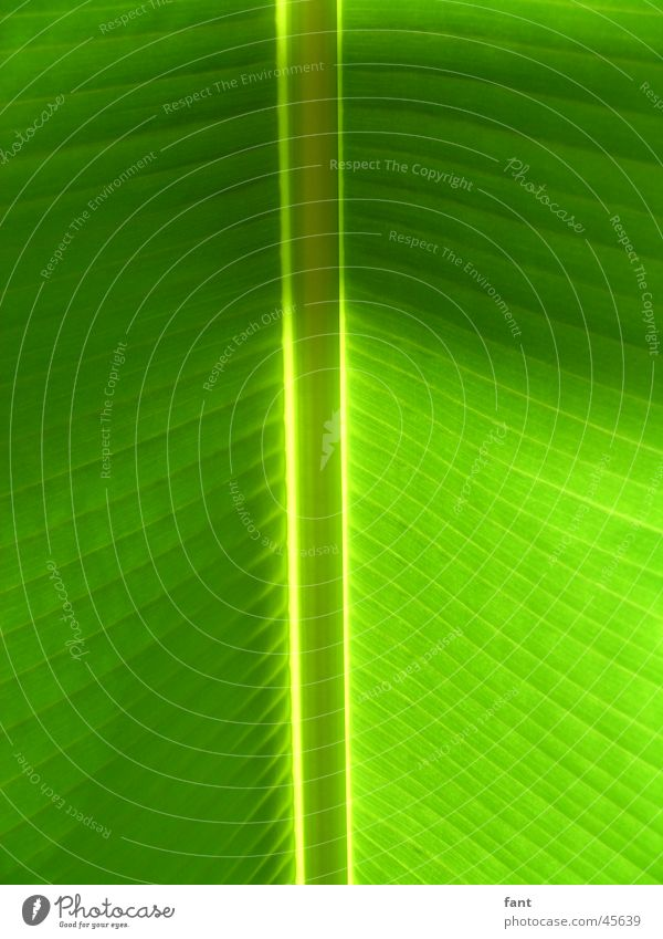 Nature Green Leaf Stripe Symmetry Vessel Vertical Banana Leaf green