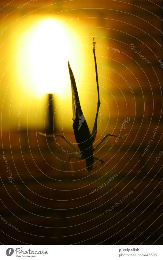 Grasshopper against the light Pane Light Back-light Dark Insect Animal Locust