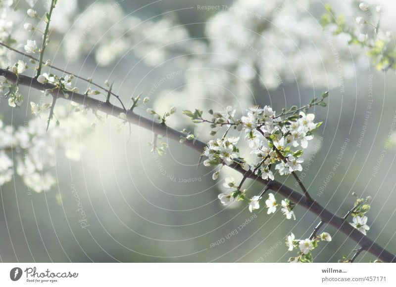 small spring poem Spring Twig Blossom Fruit trees Cherry blossom Plum blossom Apple blossom Blossoming Gray Green White flowering twig Exterior shot Deserted