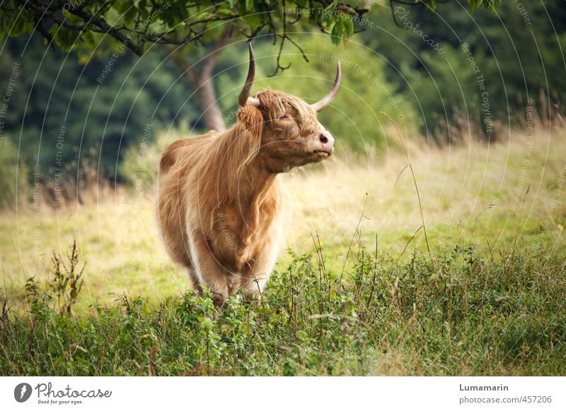 Beautiful Animal Meadow Freedom Natural Healthy Blonde Wild Stand Esthetic Uniqueness Agriculture Pasture Cow Long-haired