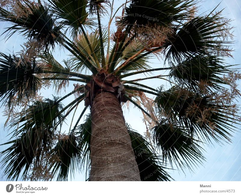 palm Palm tree Tree Large Tall