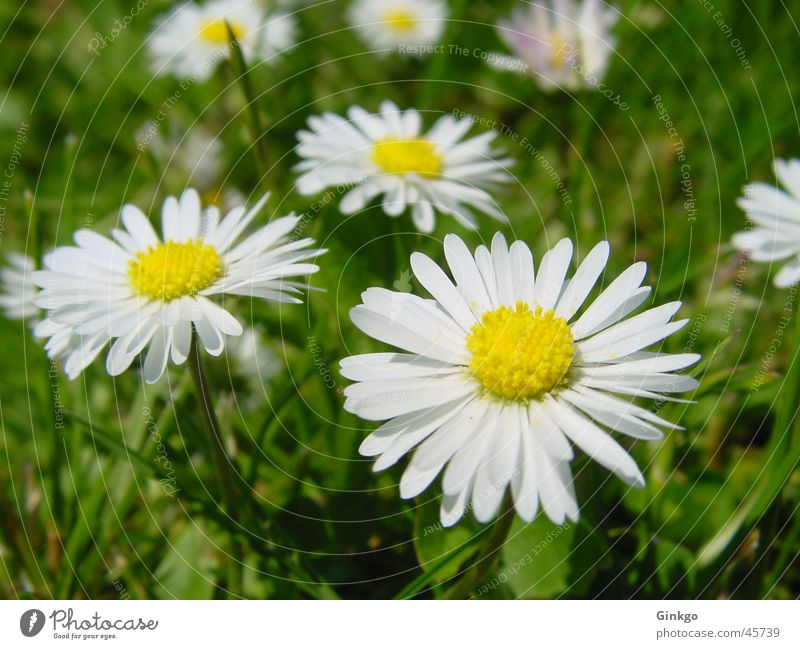 6 geese Daisy Flower Grass Yellow White Green Summer Lawn Garden