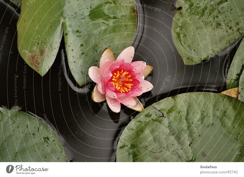 water lily Water lily Lake Pink Flower Nature