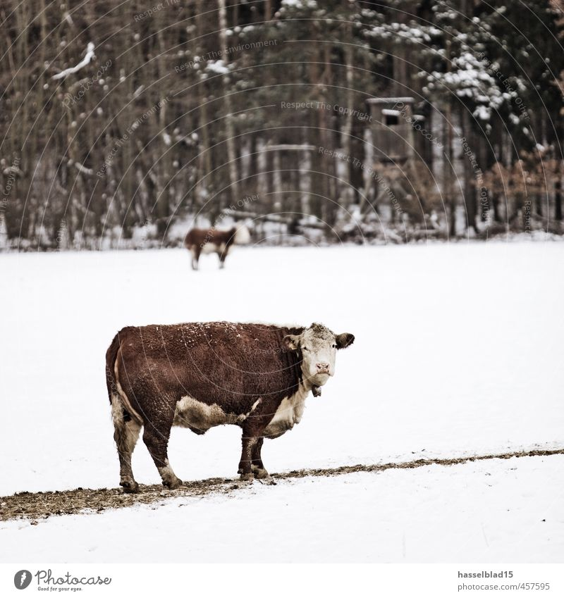Nature Vacation & Travel Relaxation Landscape Calm Animal Winter Environment Senior citizen Snow Happy Agriculture Farm Fragrance Meditation Cow