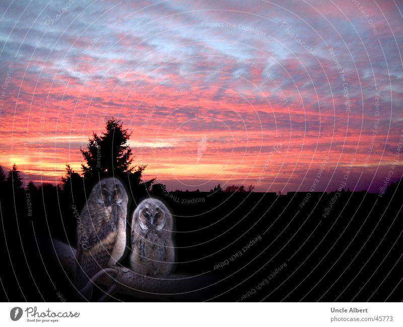 Sunset Night sky Animal Bird Owl birds Dusk