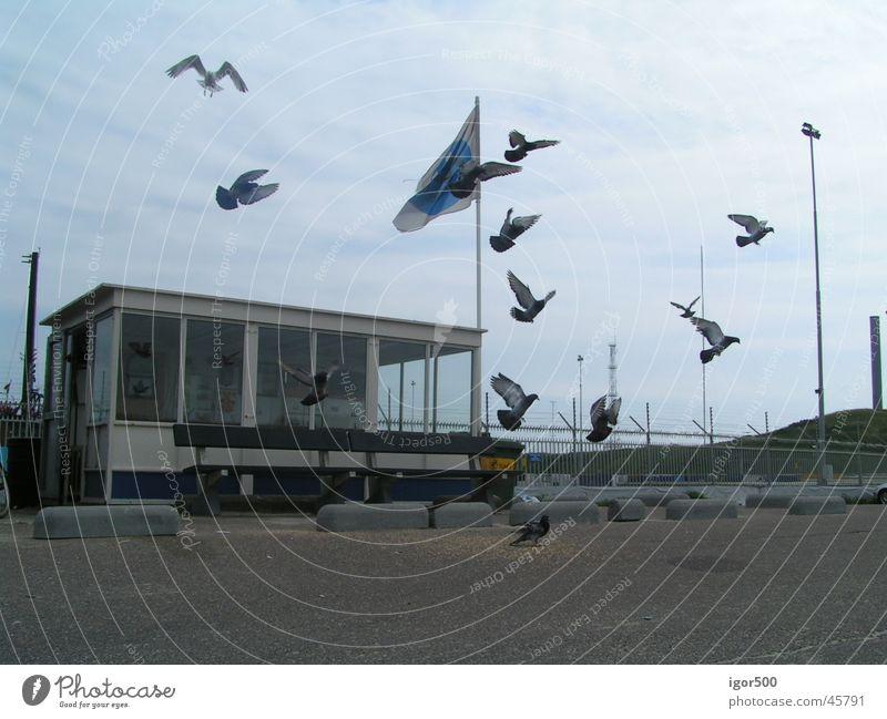 pigeons Pigeon Twilight Harbour Movement