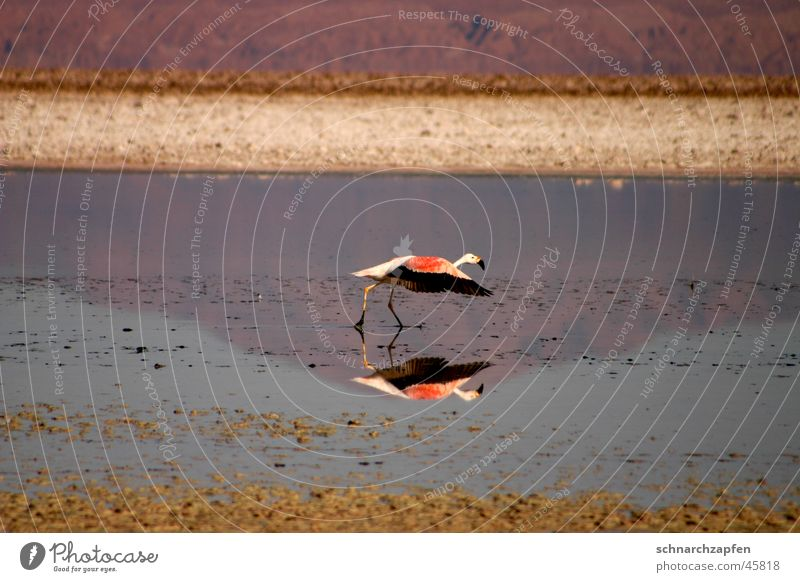 flamingo Bird Flamingo Chile Salar de Atacama Reflection Water Movement