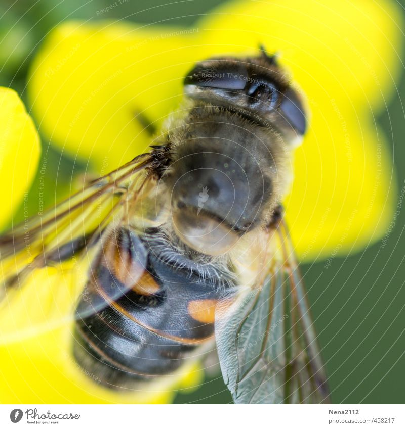 jaundice Environment Nature Air Summer Beautiful weather Flower Blossom Garden Park Meadow Field Fly Bee 1 Animal Stand Yellow Wing Eyes Insect collect nectar