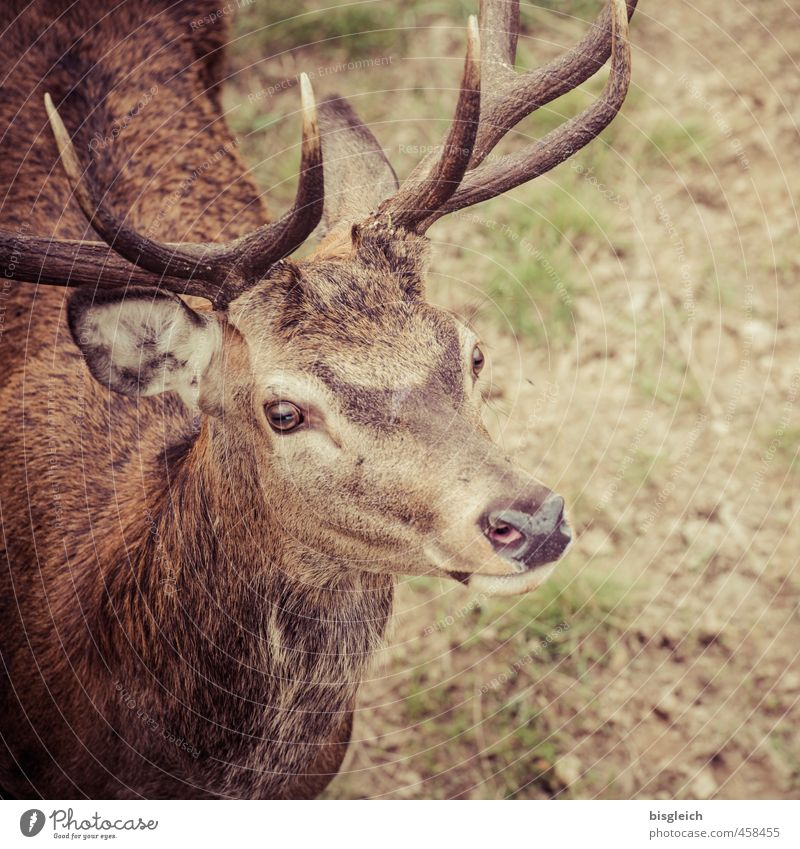 small stag Meat Vension Wild animal Animal face Deer Antlers Eyes Ear 1 Looking Stand Brown Green Attentive Curiosity Colour photo Exterior shot Deserted Day