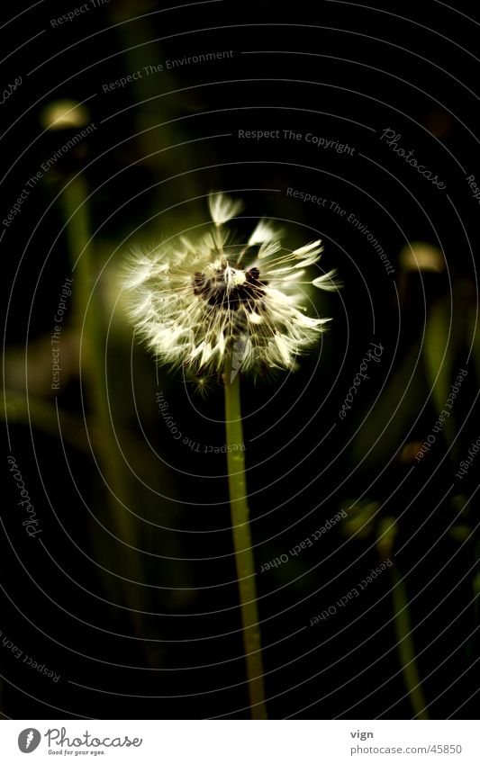 Flower Plant Dandelion Seed Distribute