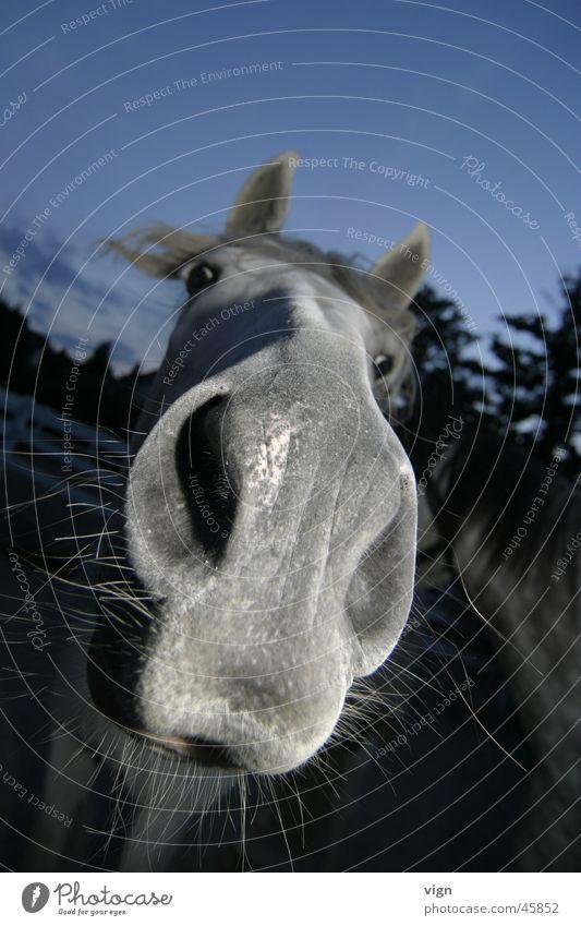 convertible Horse Nostrils Curiosity Looking Mold Nose Lips Odor Contact