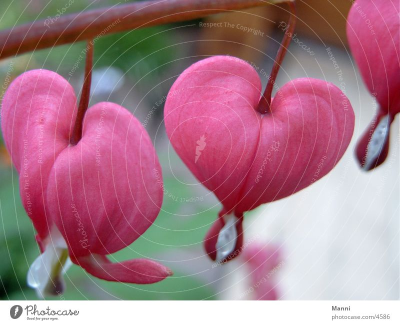 Flower Bleeding heart